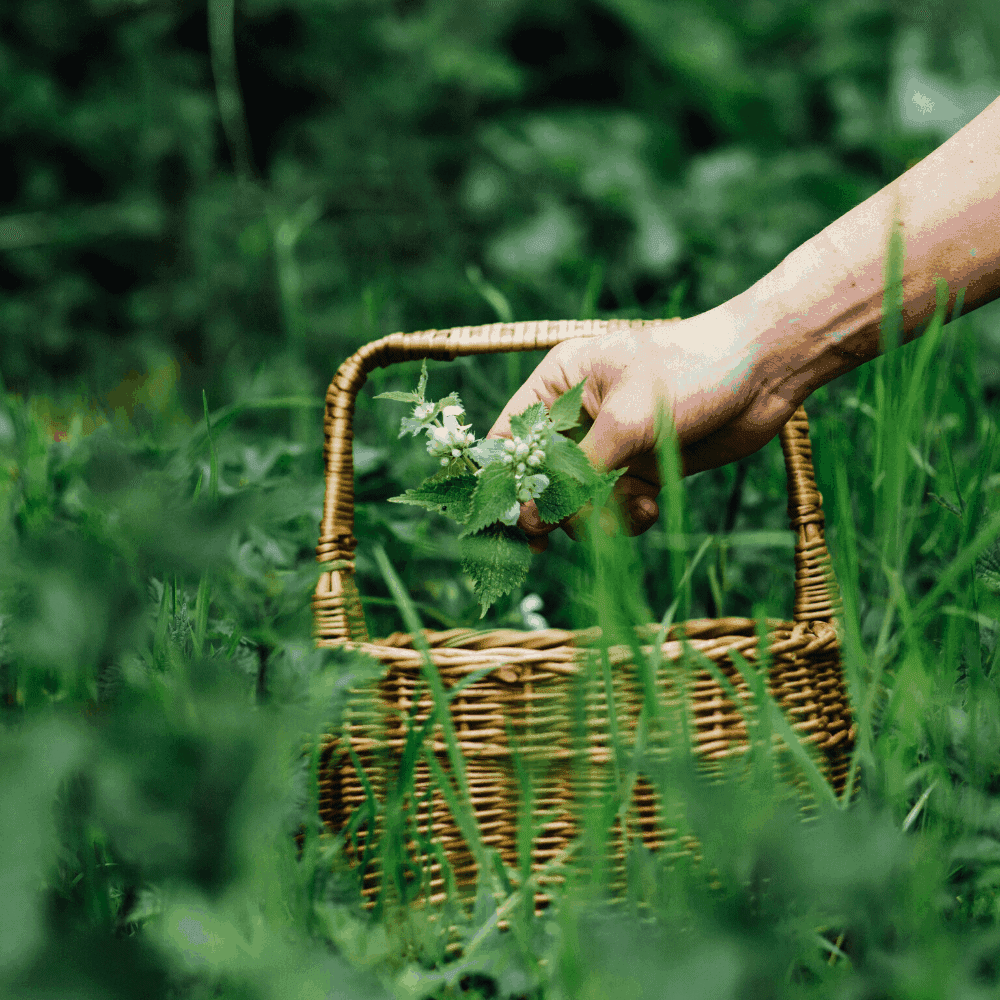 Picking nettles in a foraging basket