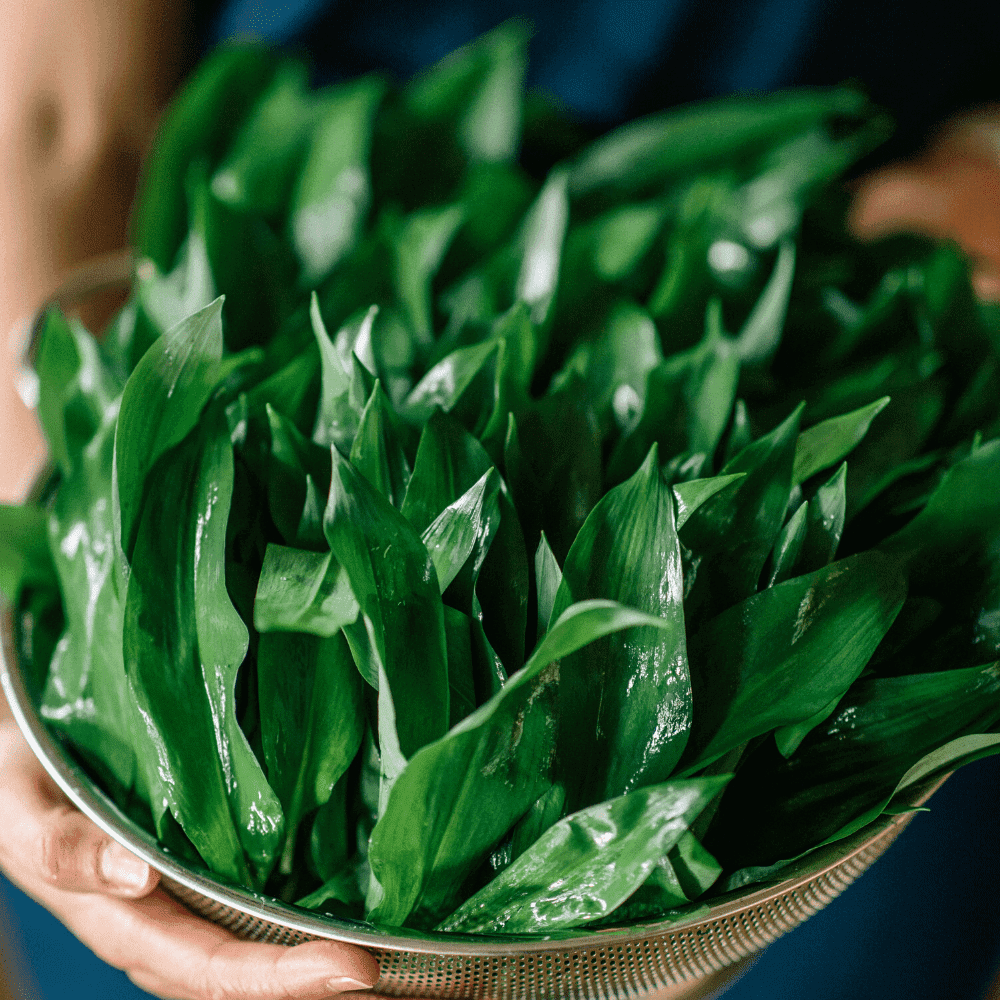 Lacto Fermented Wild Garlic Recipe