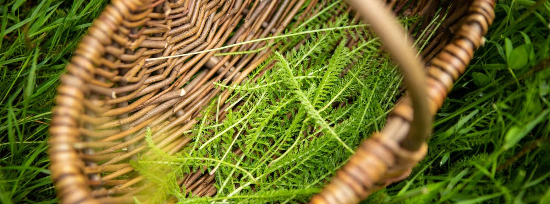 foraging for yarrow, yarrow leaves